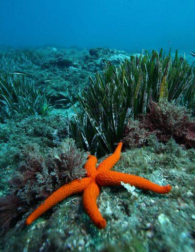 Etoile de mer rouge_Parc national de Port-Cros - Crédit : T. Abiven